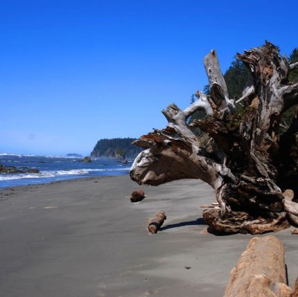 knarled dead tree along shoreline